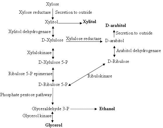 xylulose kinase - 558×438