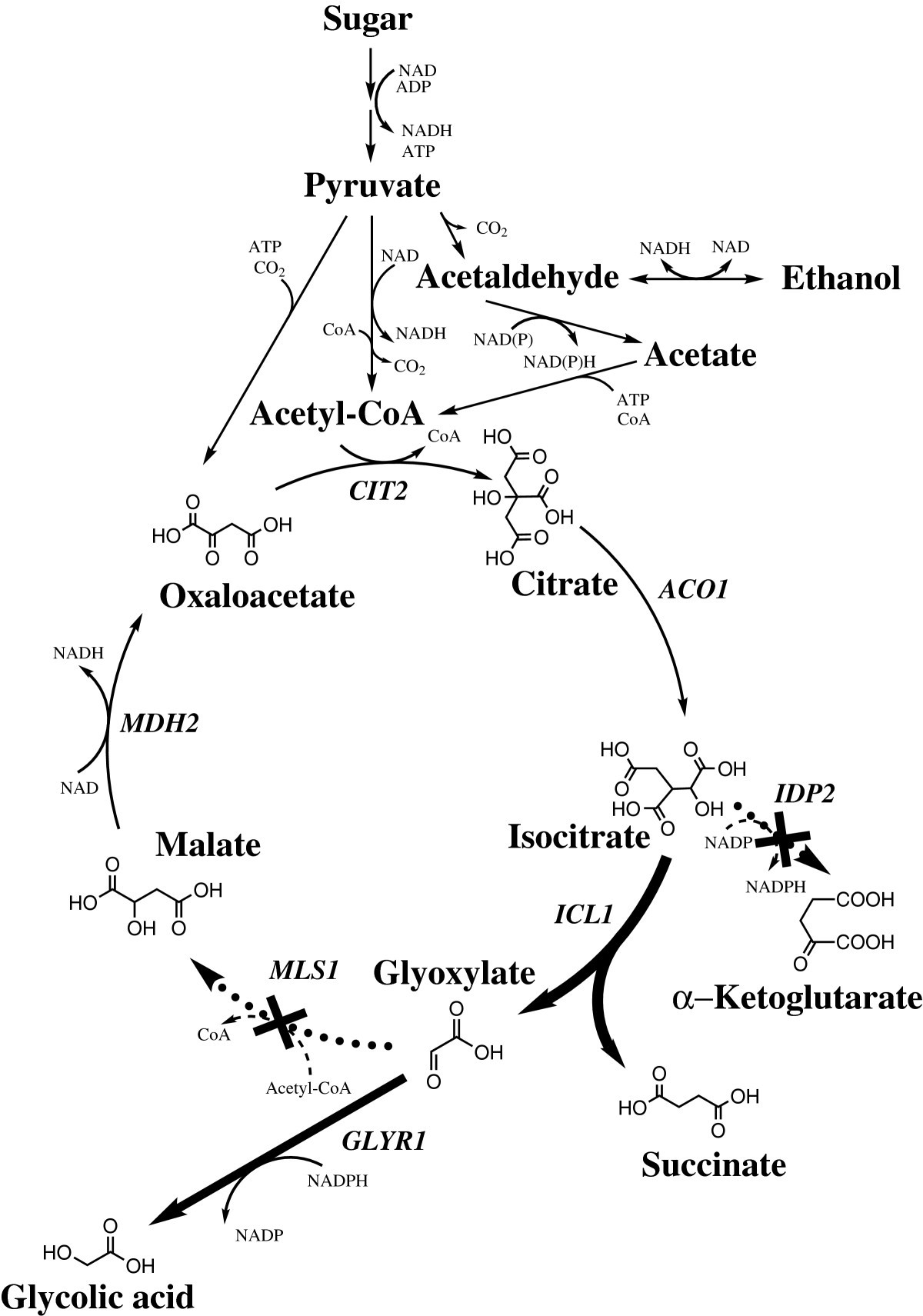 Glycolic acid production in the engineered yeasts Saccharomyces ...