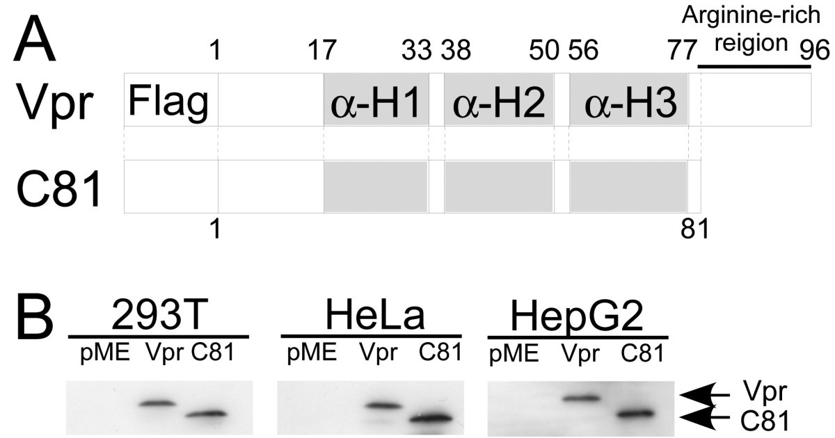 The Human Immunodeficiency Virus Type 1 Vpr Protein And Its Carboxy