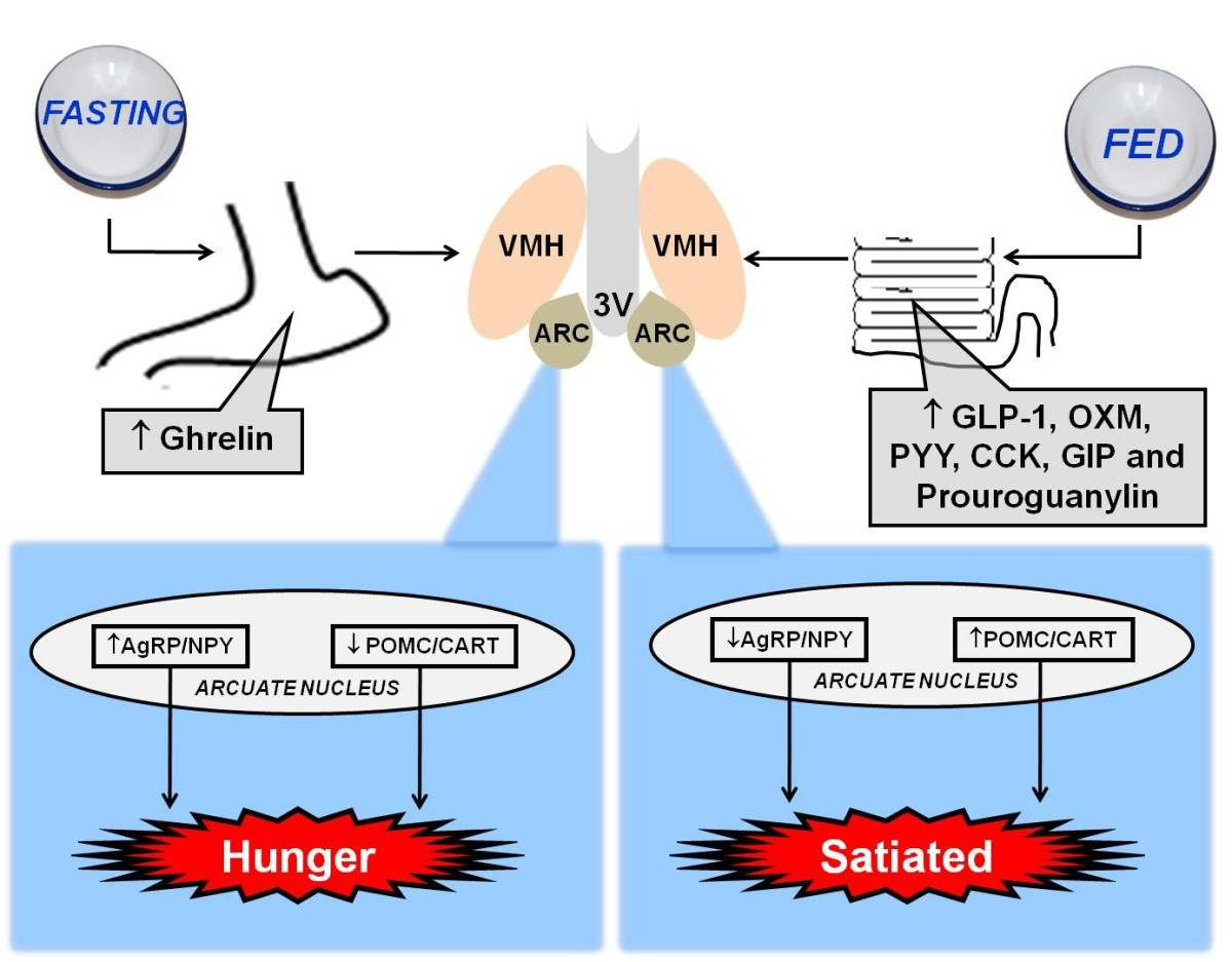 Gut-central nervous system axis is a target for nutritional therapies