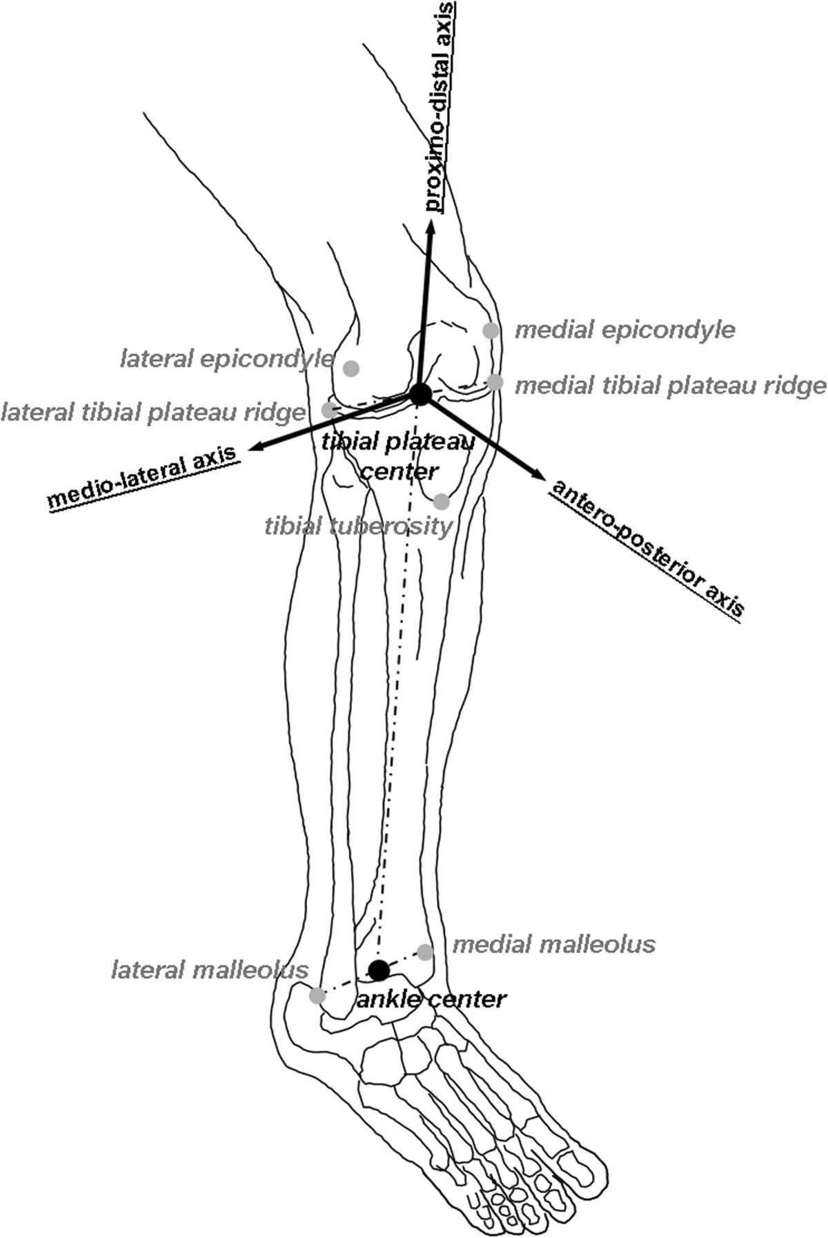 Human knee laxity in ACL-deficient and physiological contralateral ...