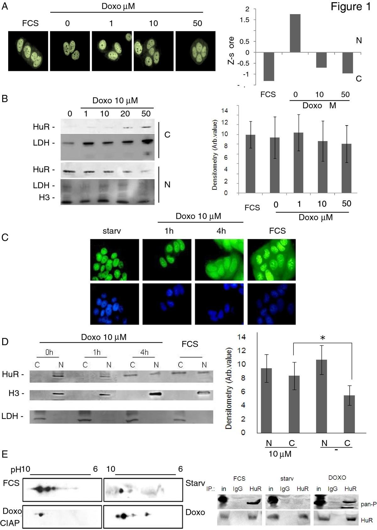 Downregulation Of Hur As A New Mechanism Doxorubicin Resistance Jacinto 6 Block Diagram Results