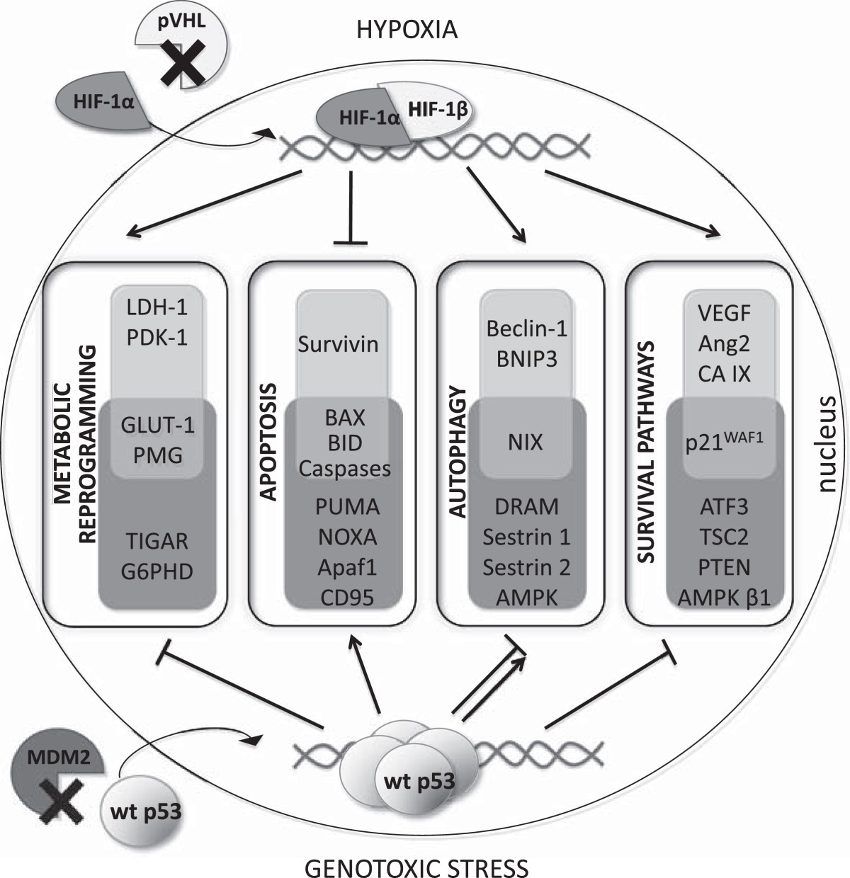 Cross Talk Between Hif And P53 As Mediators Of Molecular Responses Bruno Valet Plus Wiring Diagram Figure 1