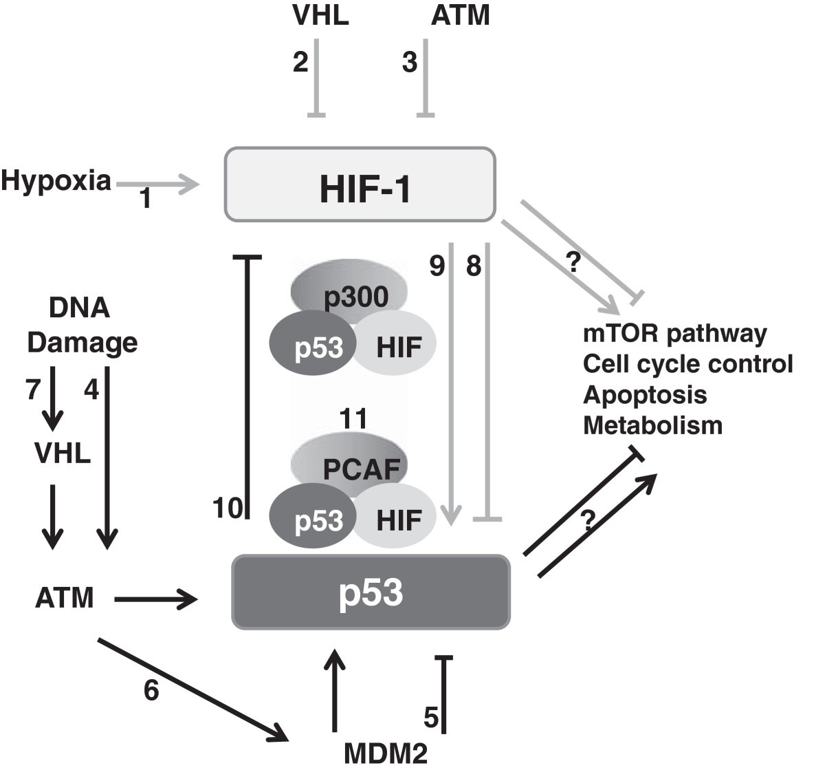 Cross Talk Between Hif And P53 As Mediators Of Molecular Responses Bruno Valet Plus Wiring Diagram Figure 2 Schematic Characterization