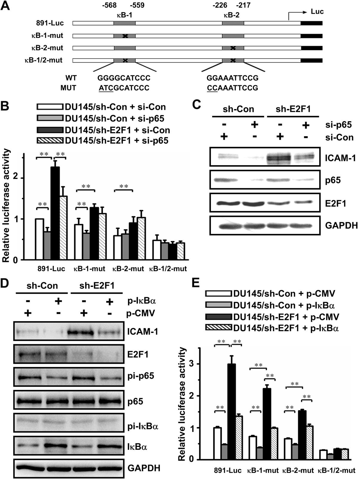 E2f1 Renders Prostate Cancer Cell Resistant To Icam 1 Mediated