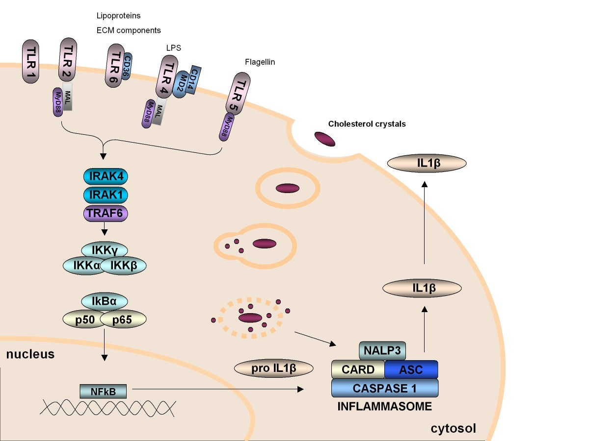 Innate Immunity And Monocyte Macrophage Activation In Understanding Wiring Diagrams J Bratton Page Figure 2