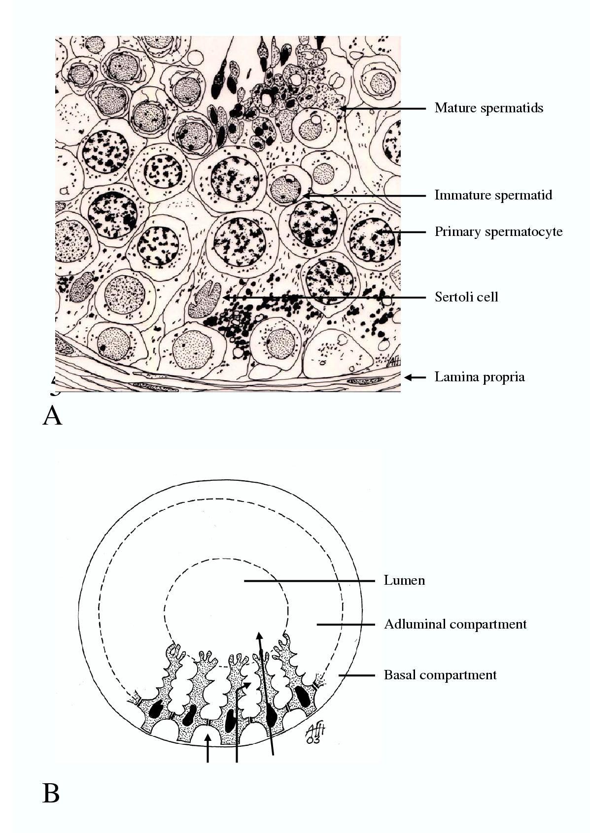 Understanding Spermatogenesis Is A Prerequisite For Treatment