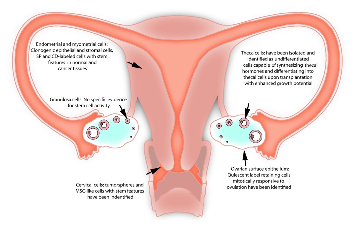Normal and cancer stem cells of the human female reproductive system ...