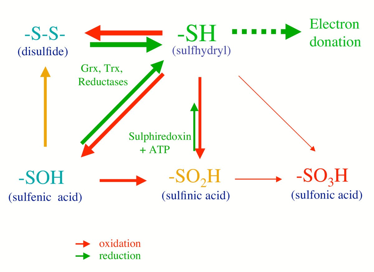 Fundamental roles of reactive oxygen species and protective ...
