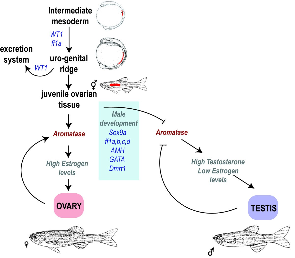 Zebrafish Sex Determination And Differentiation Involvement Of Ftz