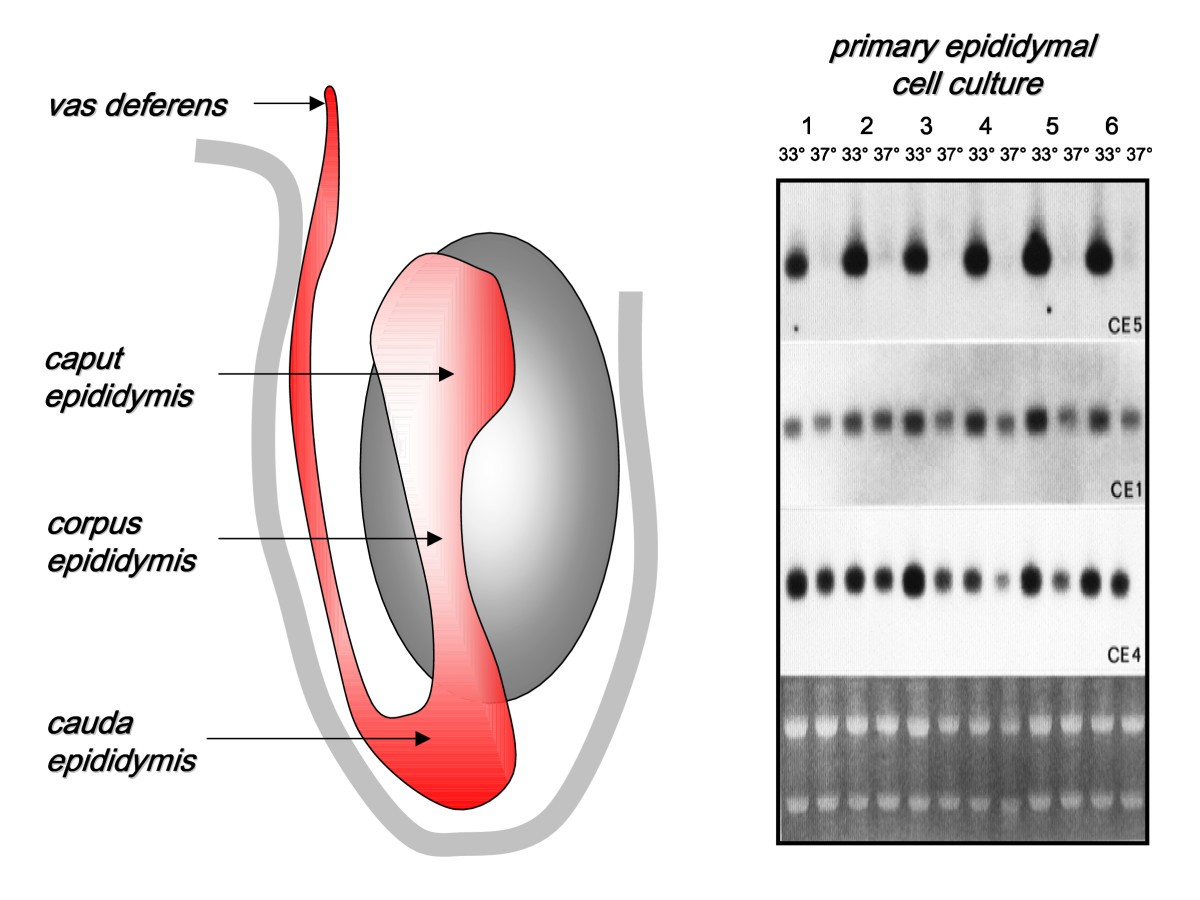 Lifestyle Impact And The Biology Of The Human Scrotum Reproductive