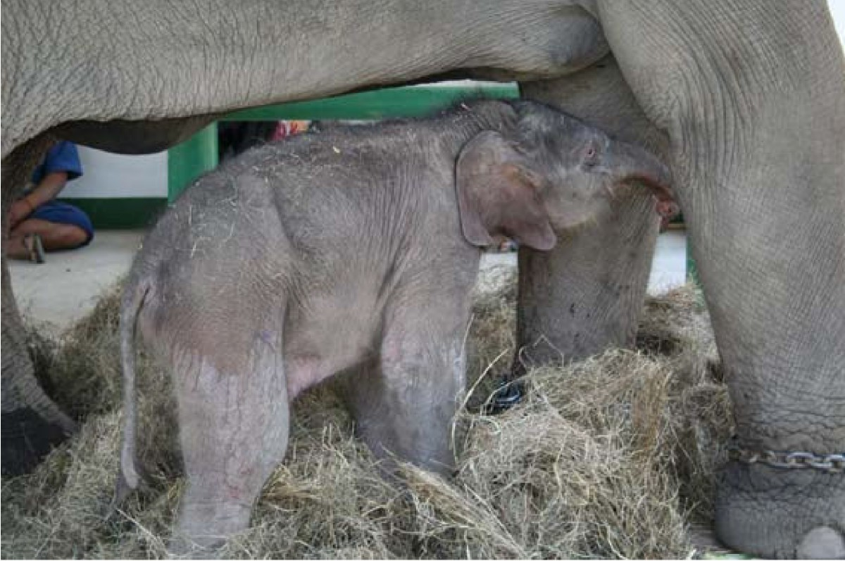 Successful artificial insemination in the Asian elephant (Elephas ...