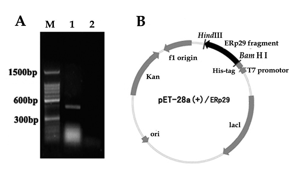 expression and purification of the antimicrobial Expression, purification and structural characterization of recombinant hepcidin, an antimicrobial peptide identified in japanese flounder, paralichthys olivaceus protein expr protein expr purif.