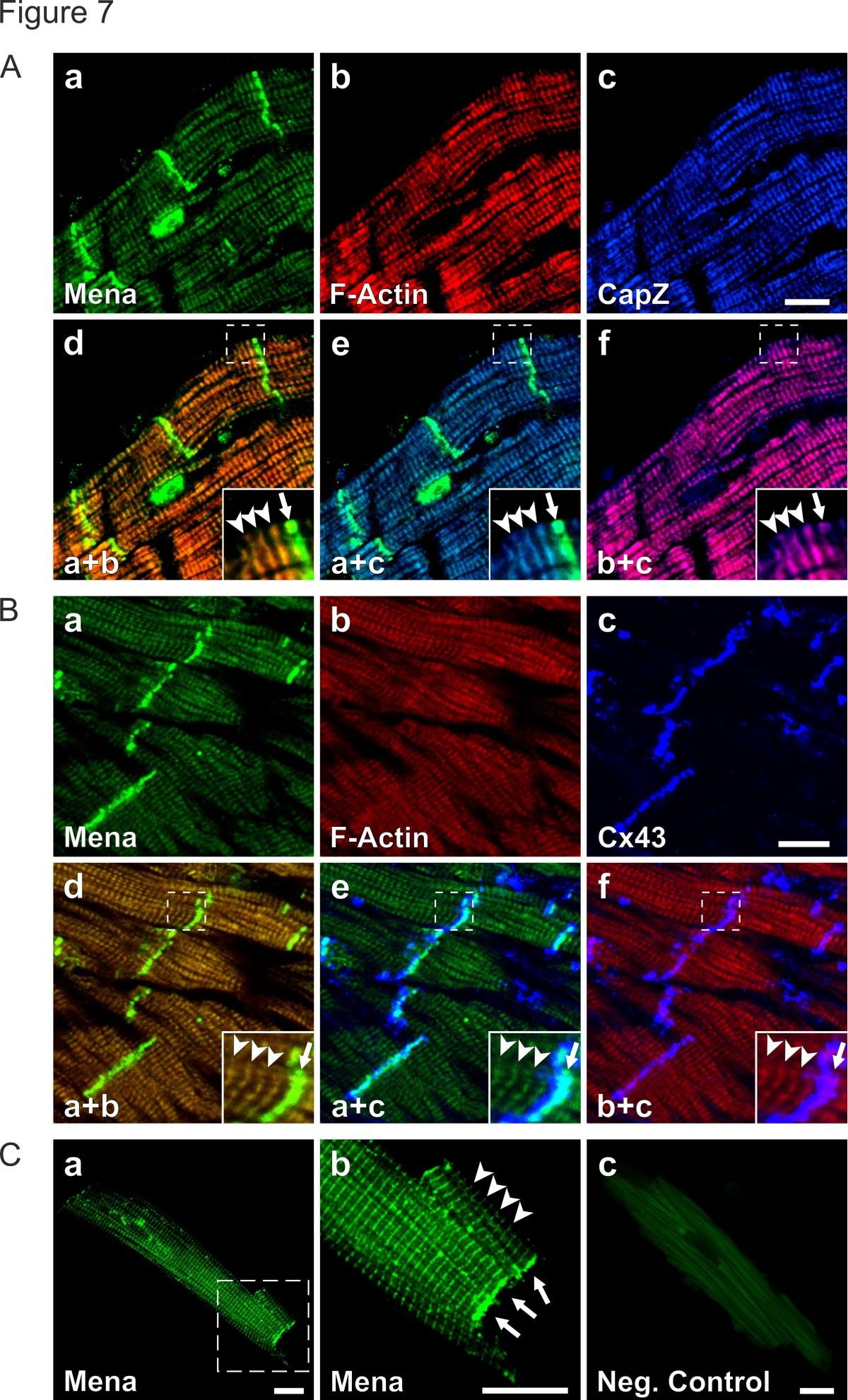 Menavasp And Ii Spectrin Complexes Regulate Cytoplasmic Actin