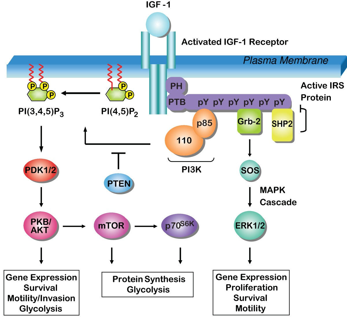Expression And Function Of The Insulin Receptor Substrate