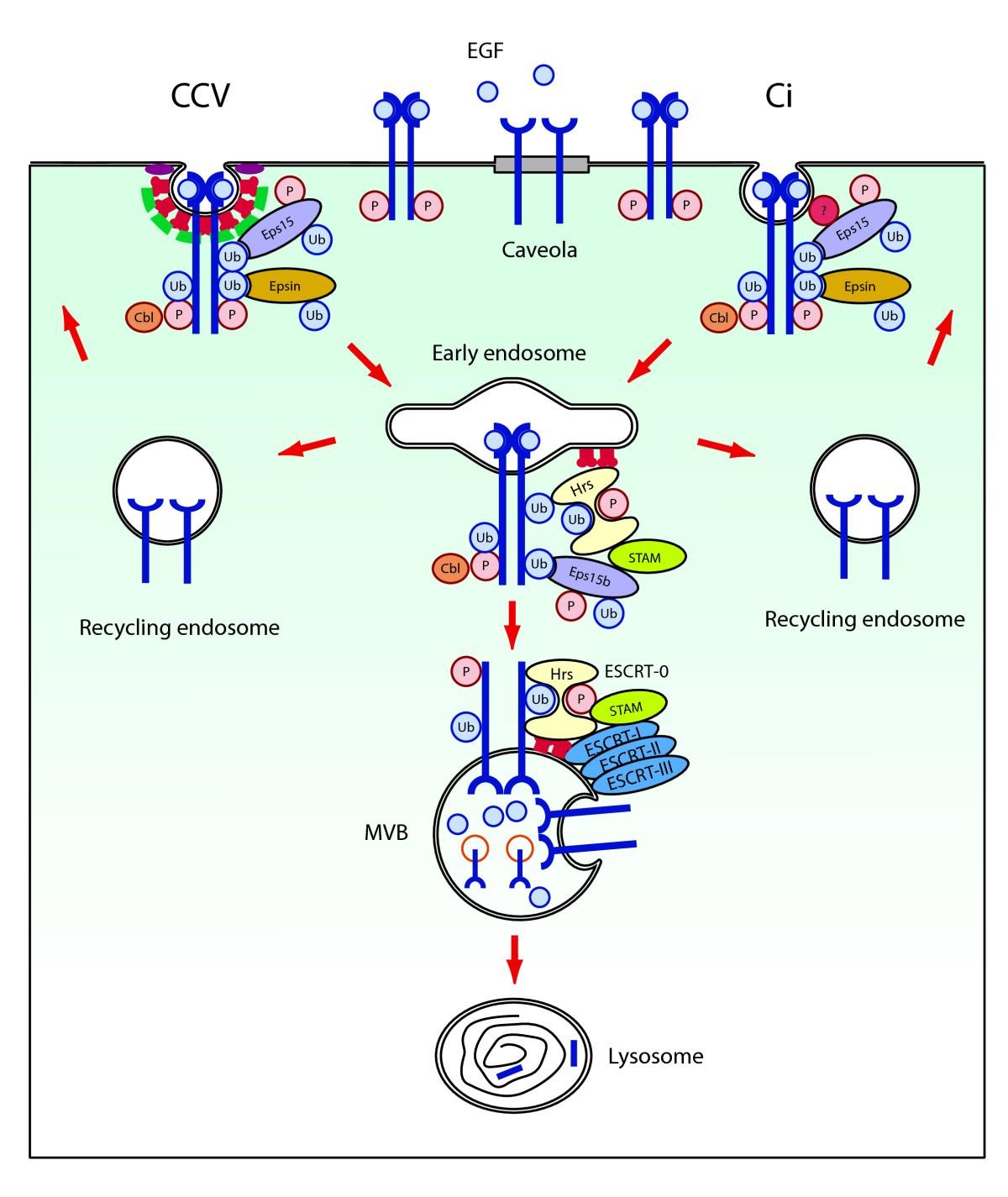 Eps15: A Multifunctional Adaptor Protein Regulating