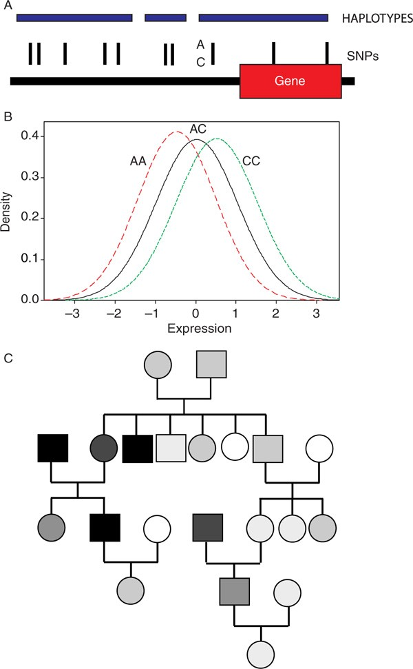 The genetics of regulatory variation in the human genome