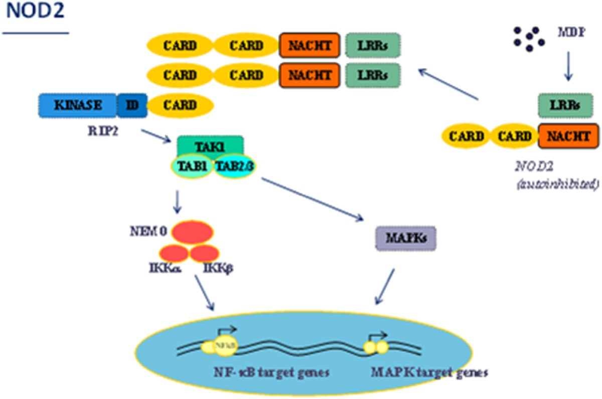 Blau Syndrome, the prototypic auto-inflammatory granulomatous ...
