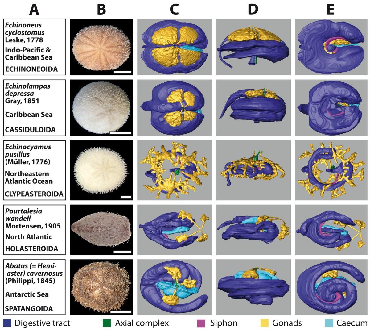 Systematic Comparison And Reconstruction Of Sea Urchin Echinoidea