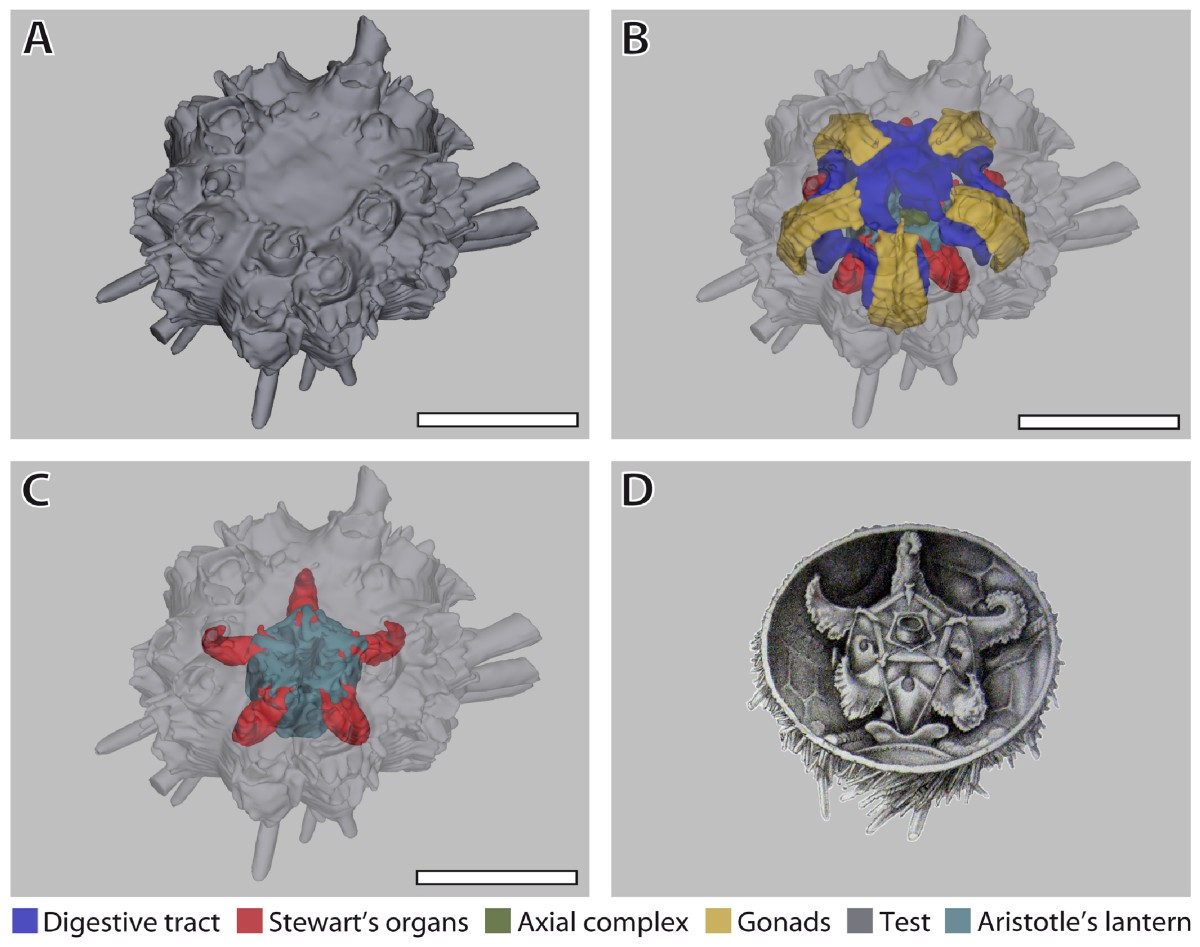 Systematic comparison and reconstruction of sea urchin (Echinoidea ...