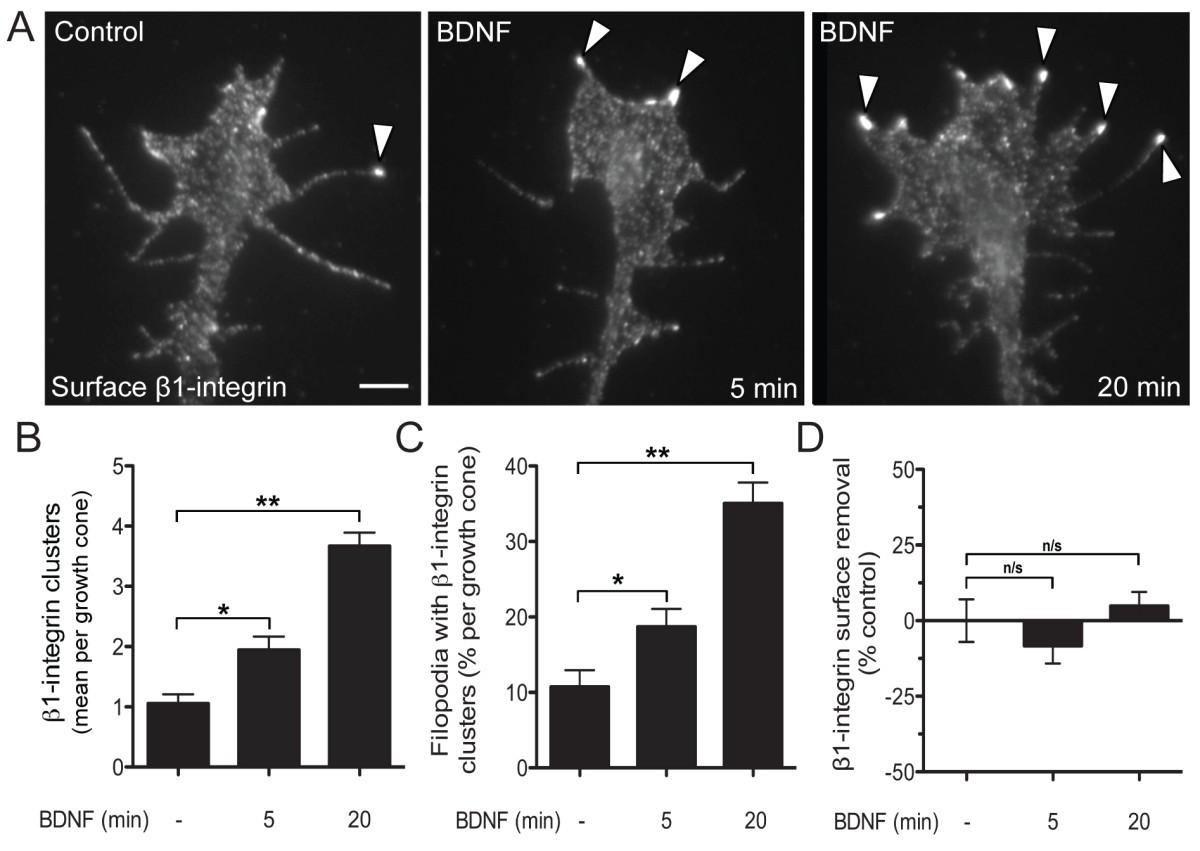 Bidirectional Remodeling Of 1 Integrin Adhesions During Chemotropic Cambridge 302 Wiring Diagram Figure