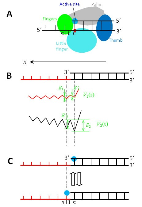 A nucleotide binding rectification brownian ratchet model for figure 3 ccuart Gallery