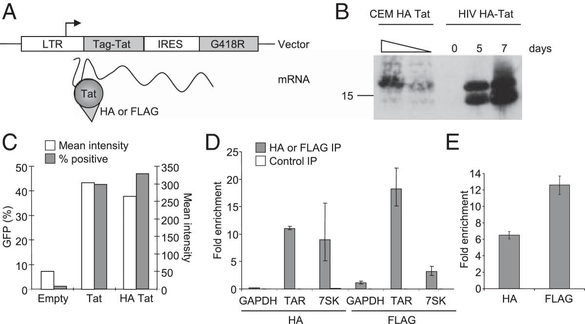 Tat associates with human mRNA in T cells