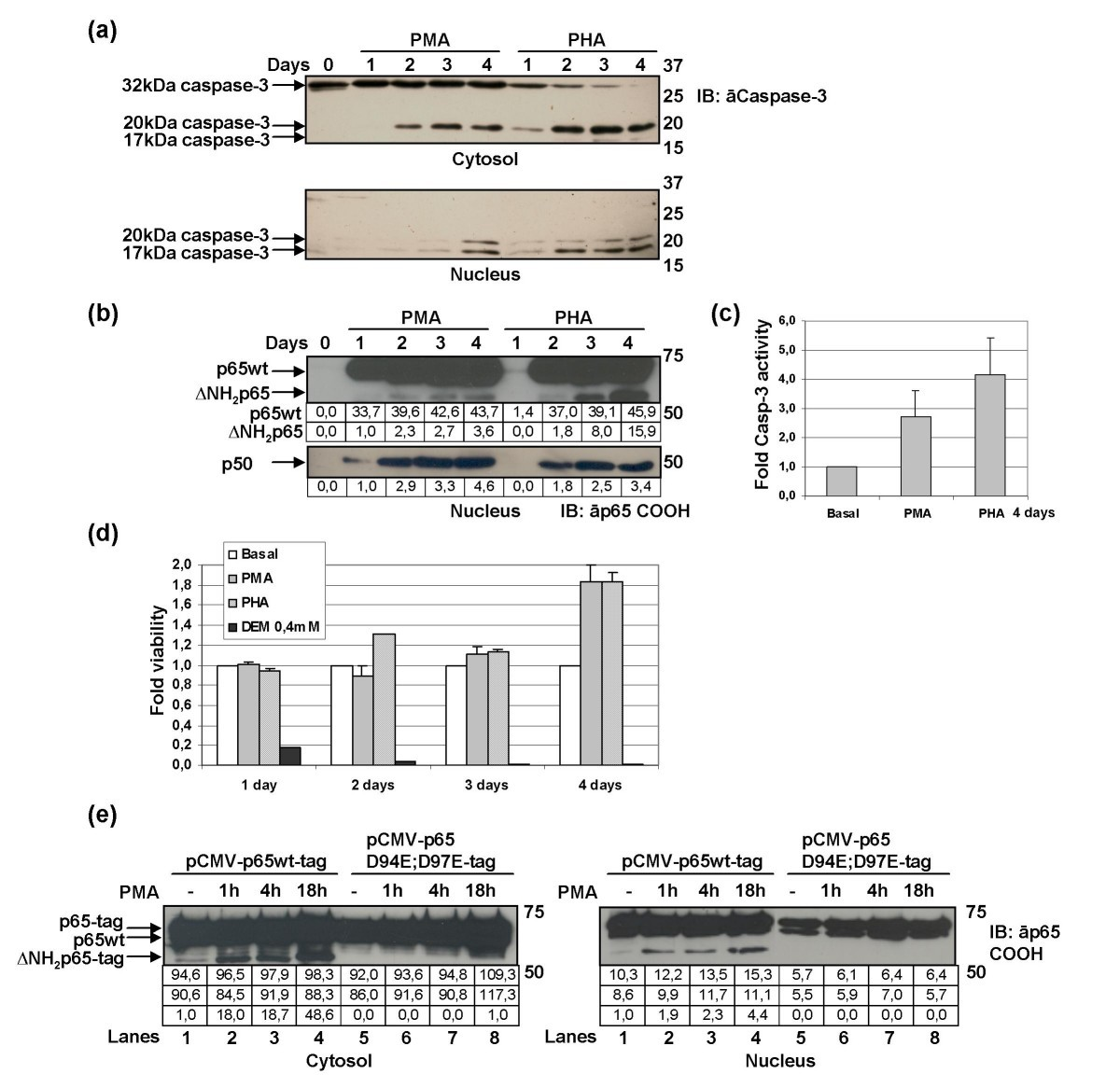 caspase 3 mediated cleavage of p65 rela results in a carboxy