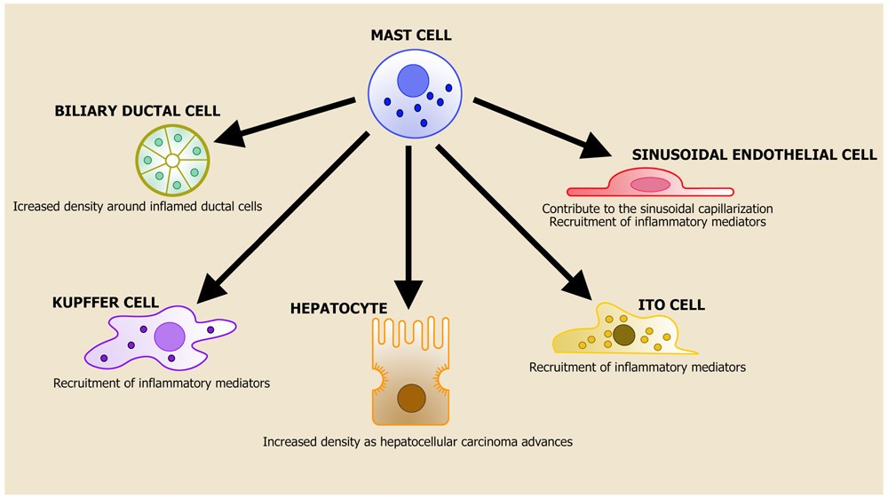 mediator immunity Cell-mediated immunity cell-mediated immunity is defined as a beneficial host response characterized by an expanded population of specific t-cells, which, in the presence of antigens, produce cytokines locally.