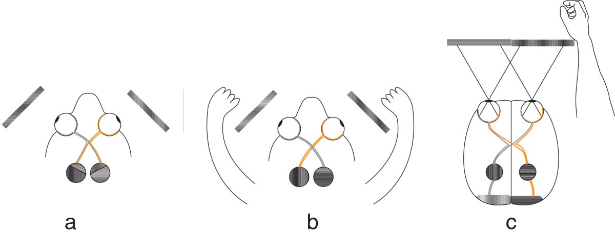 the optic chiasm  a turning point in the evolution of eye