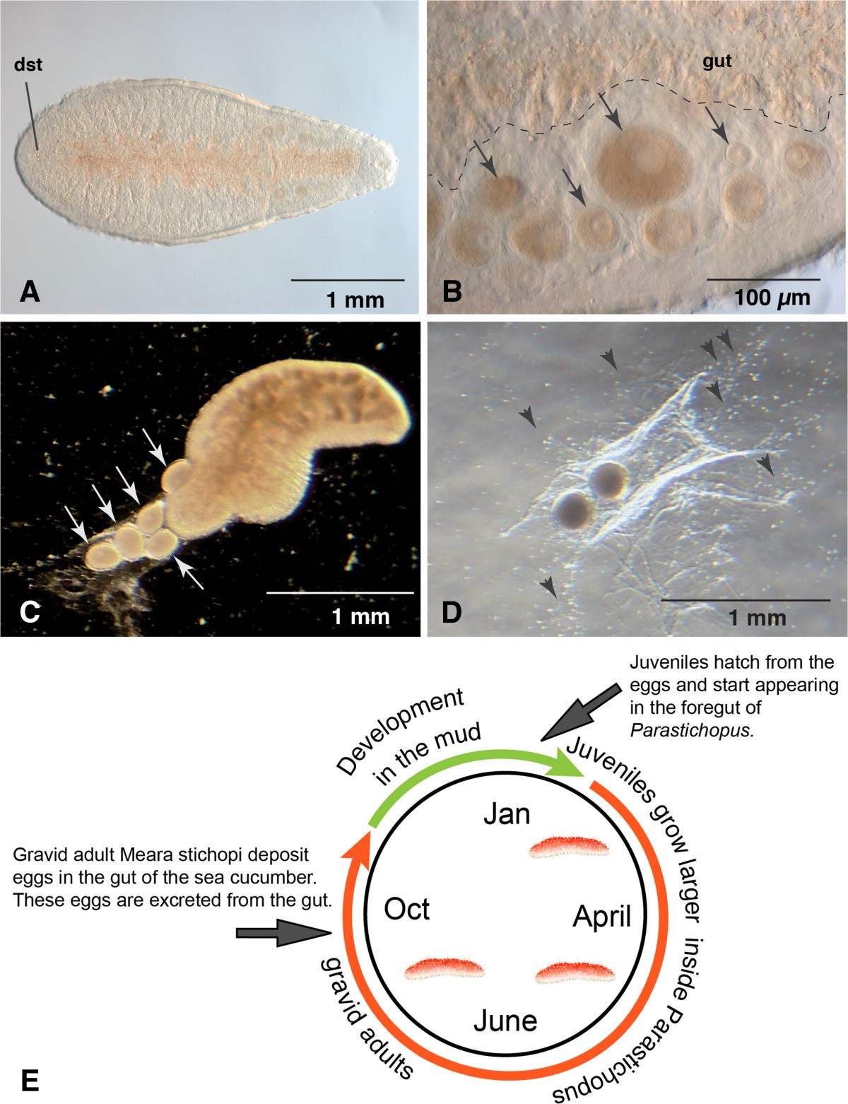 Development and juvenile anatomy of the nemertodermatid Meara ...