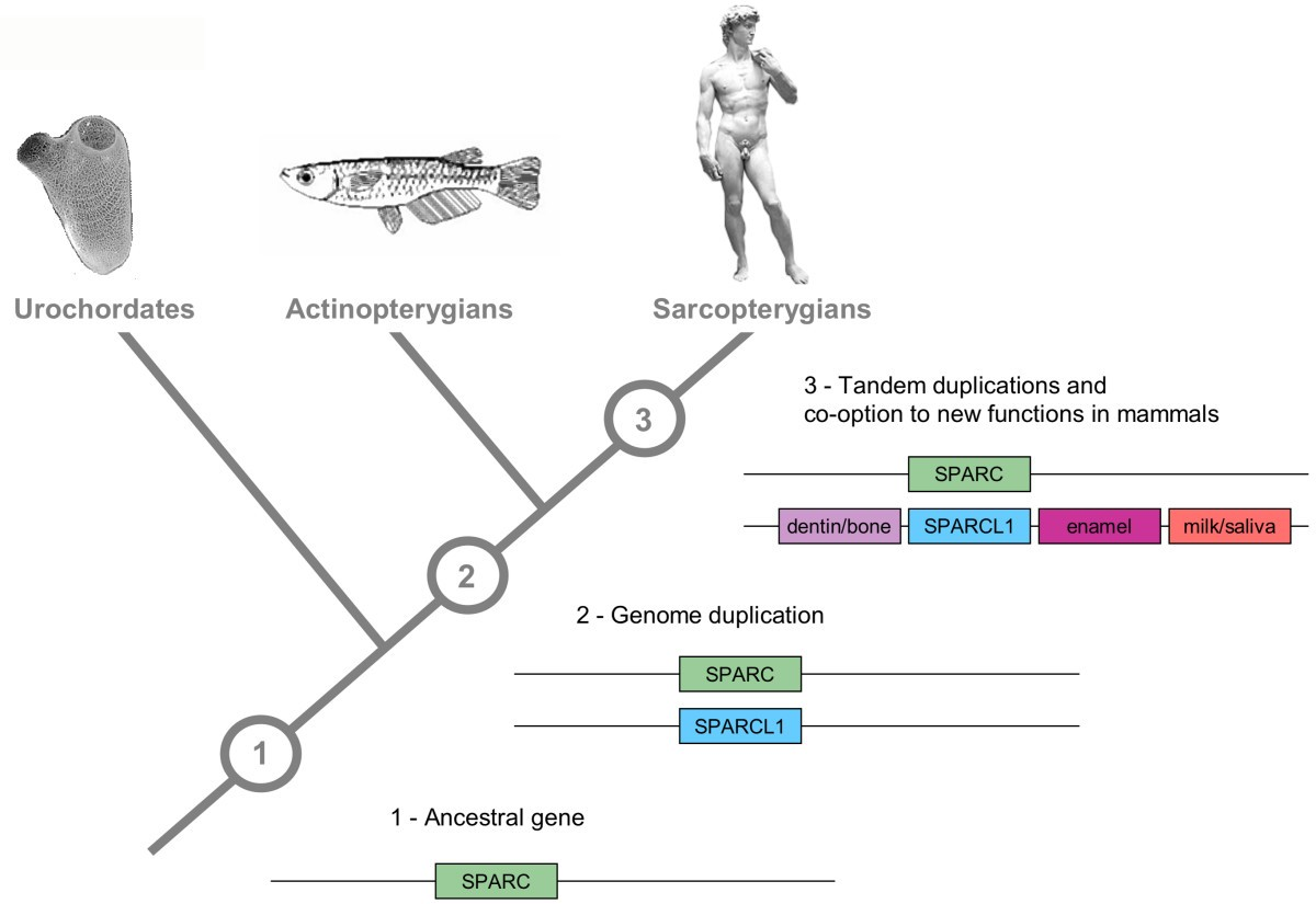 Conservation And Co Option In Developmental Programmes The Hydra Biology Diagram Phenomenon Of Science Chap 1 Figure 3