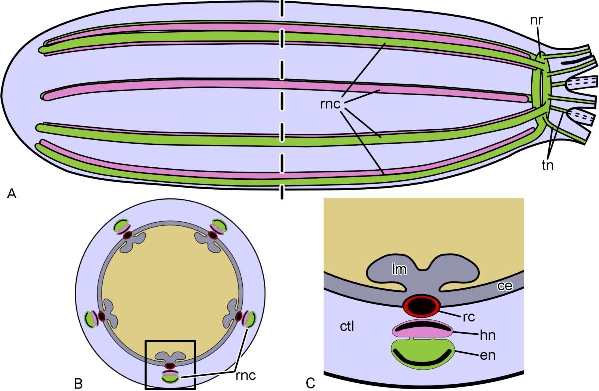 Sea Cucumber Body Plan Diagram - Radio Wiring Diagram •