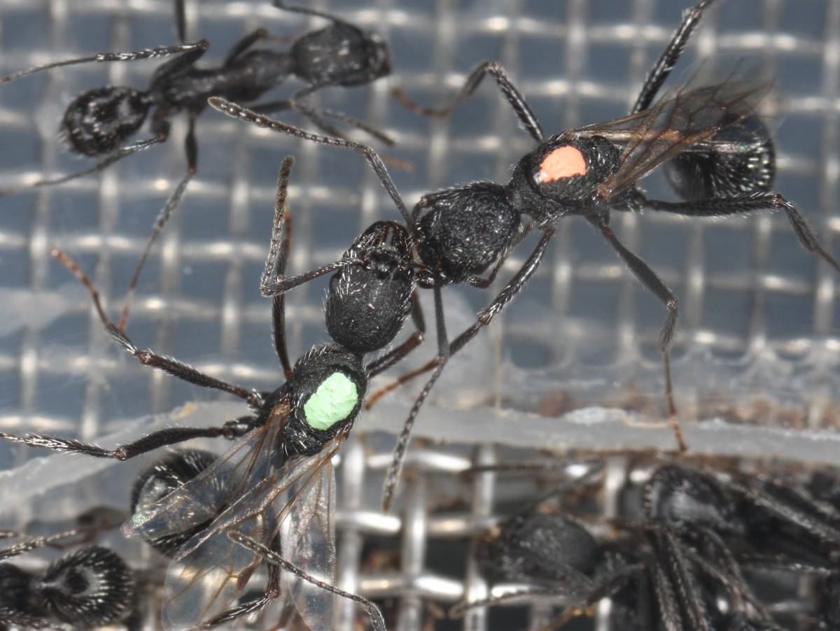 bourgeois queens and high stakes games in the ant aphaenogaster