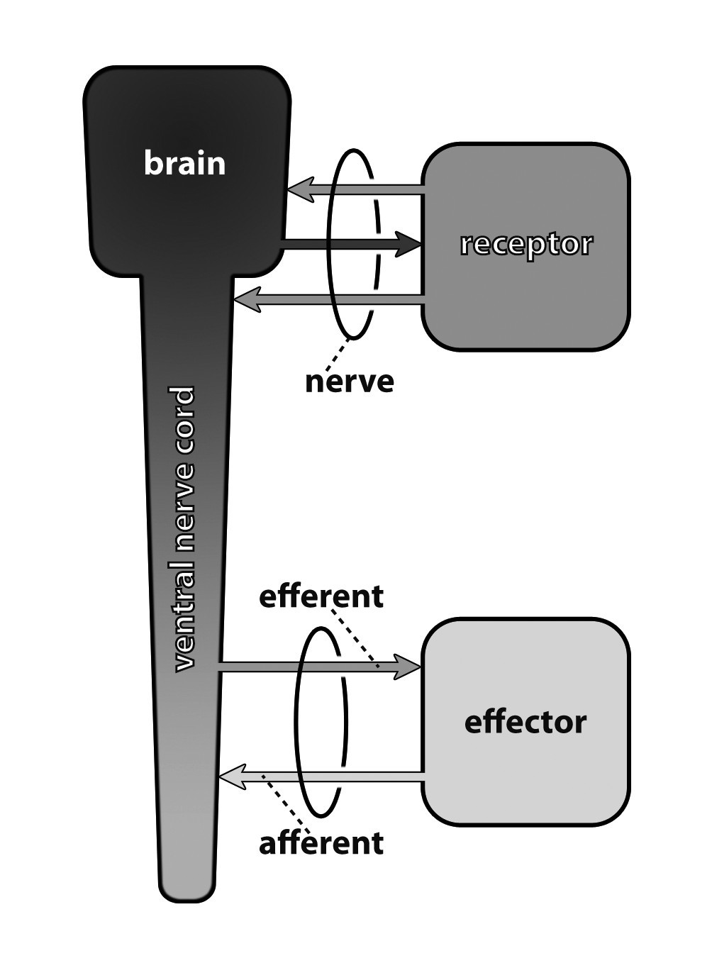 Invertebrate Neurophylogeny Suggested Terms And Definitions For A 1996 Lowe 170 Basic Boat Wiring Diagram Figure 14