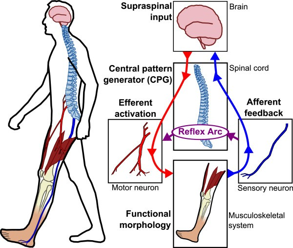Control Strategies For Active Lower Extremity Prosthetics And