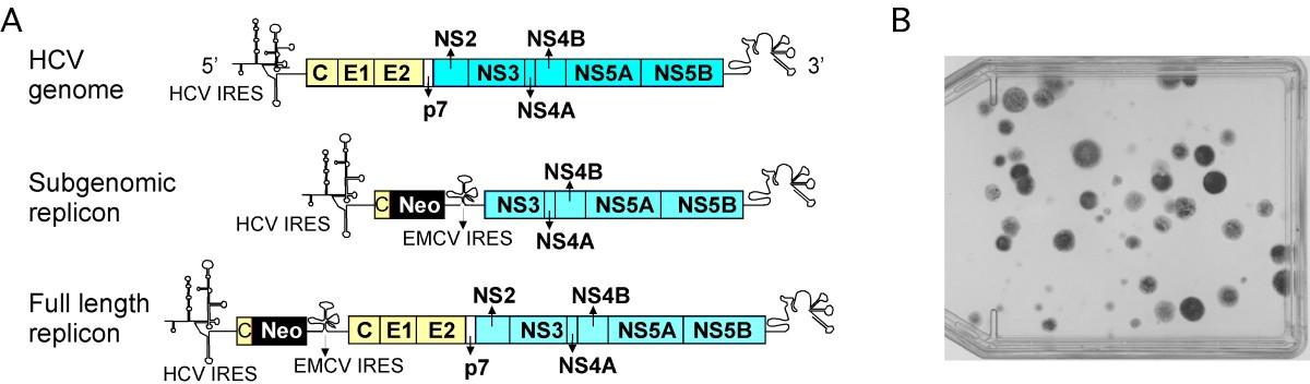 (PDF) Structure and replication of hepatitis delta virus