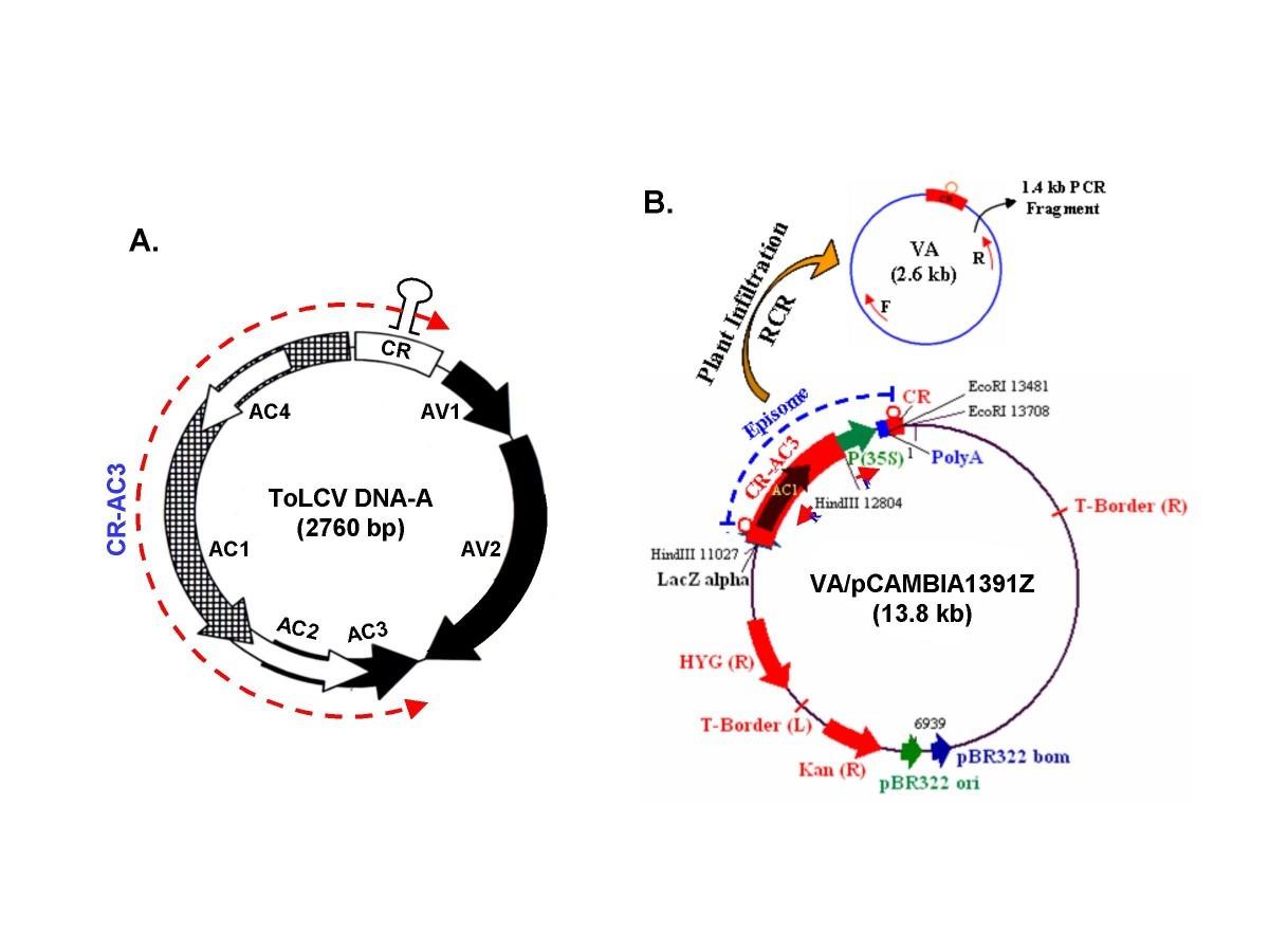 A Geminiviral Amplicon Va Derived From Tomato Leaf Curl Virus Potato Gun Diagram Figure 1