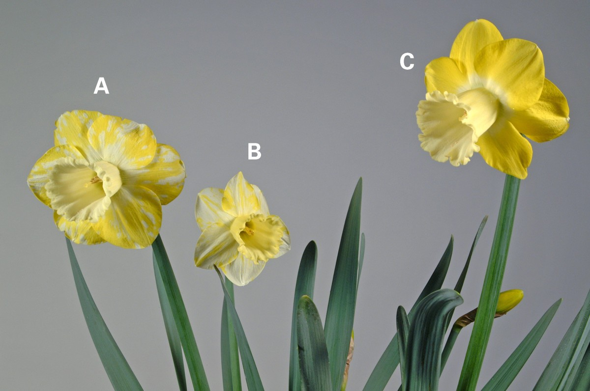 Colour Break In Reverse Bicolour Daffodils Is Associated With The