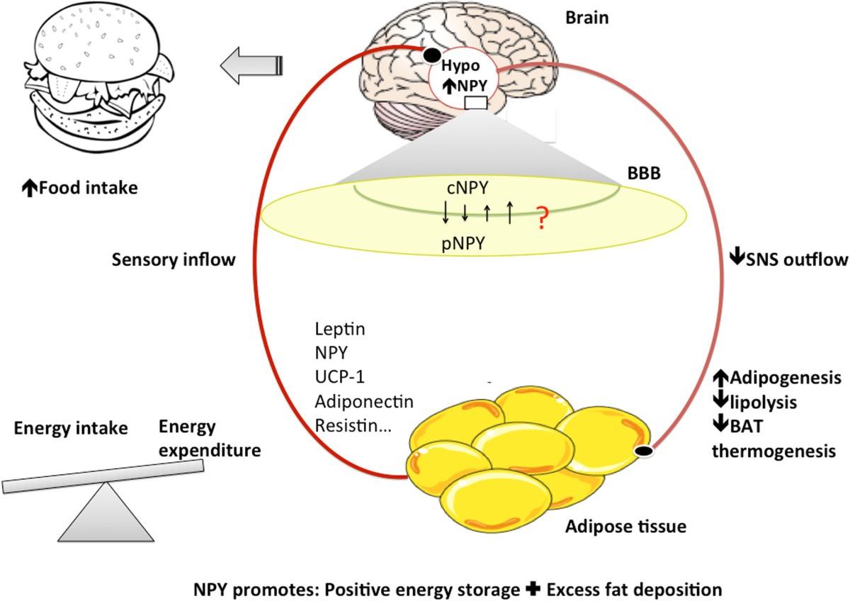 Hypothalamus-adipose tissue crosstalk: neuropeptide Y and ...
