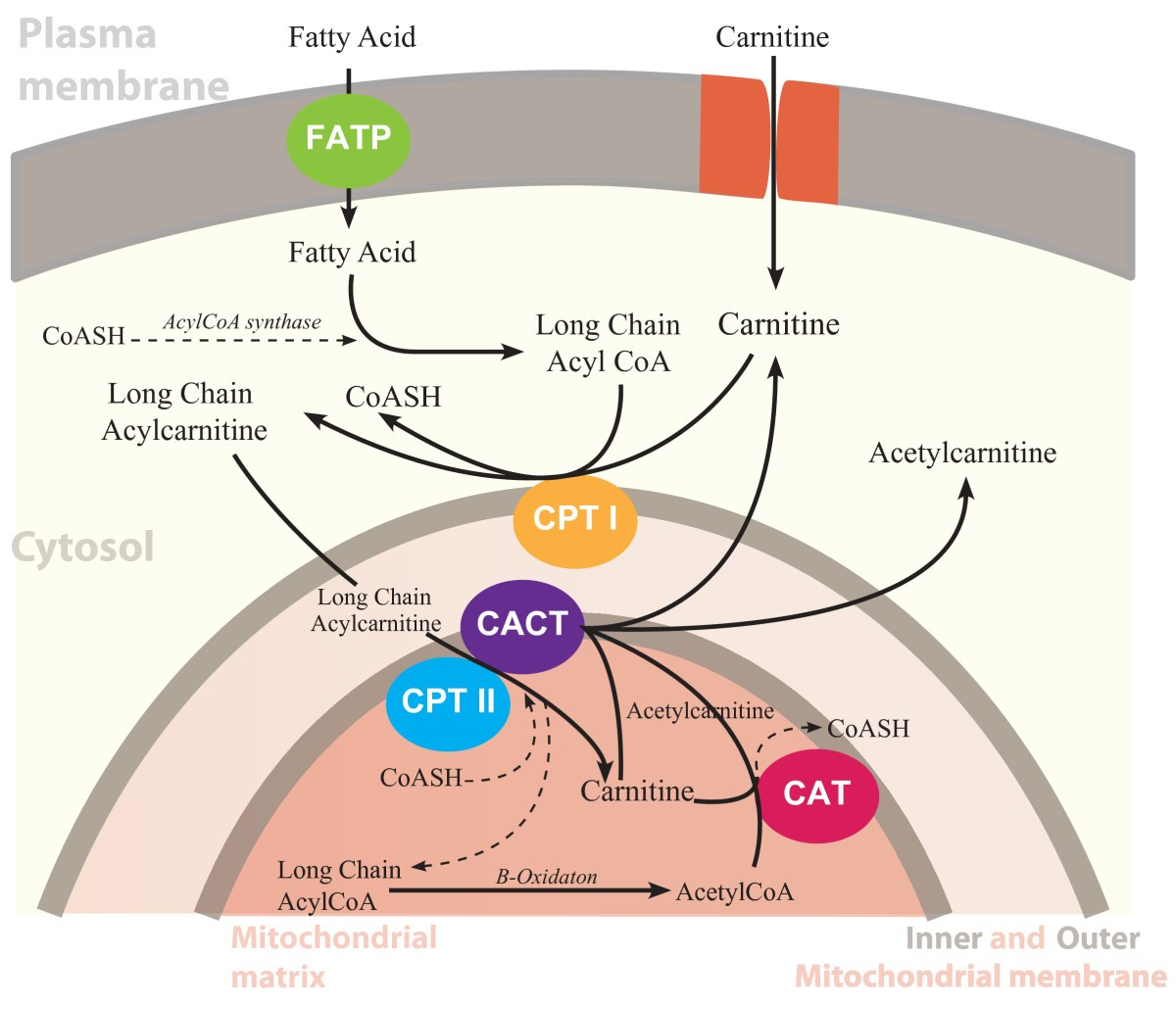 Brain Carnitine Deficiency Causes >> Role Of Carnitine In Disease Nutrition Metabolism Full Text