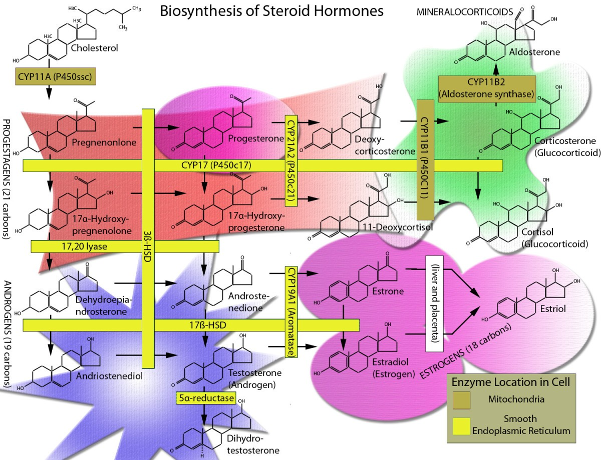 the steroid hormone biosynthesis pathway as a target for endocrine-disrupting chemicals