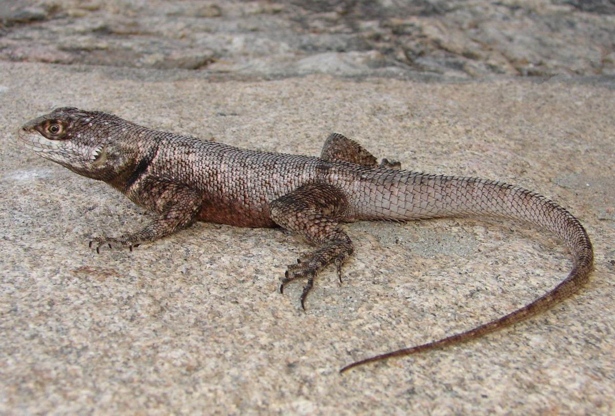 A Zoological Catalogue Of Hunted Reptiles In The Semiarid Region Of
