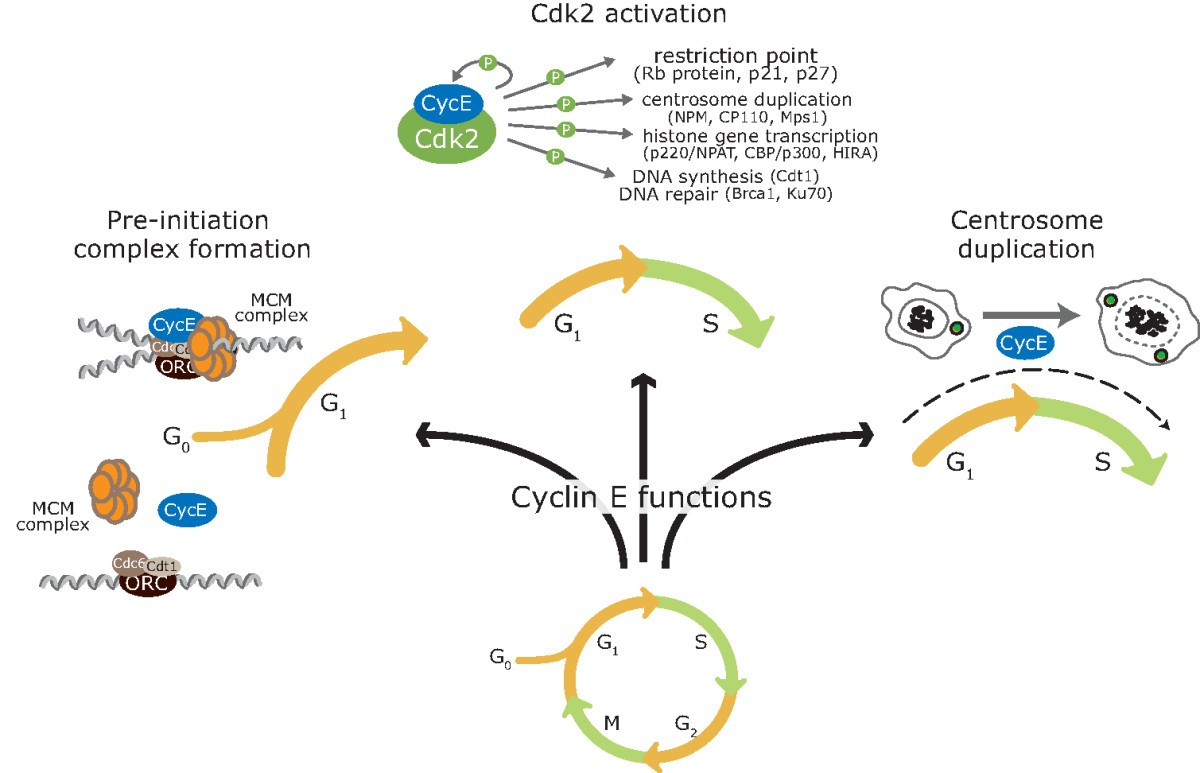 Distinct And Redundant Functions Of Cyclin E1 E2 In Rcs Prevents Triggering A Timer B Unless Is Triggered By Figure 2