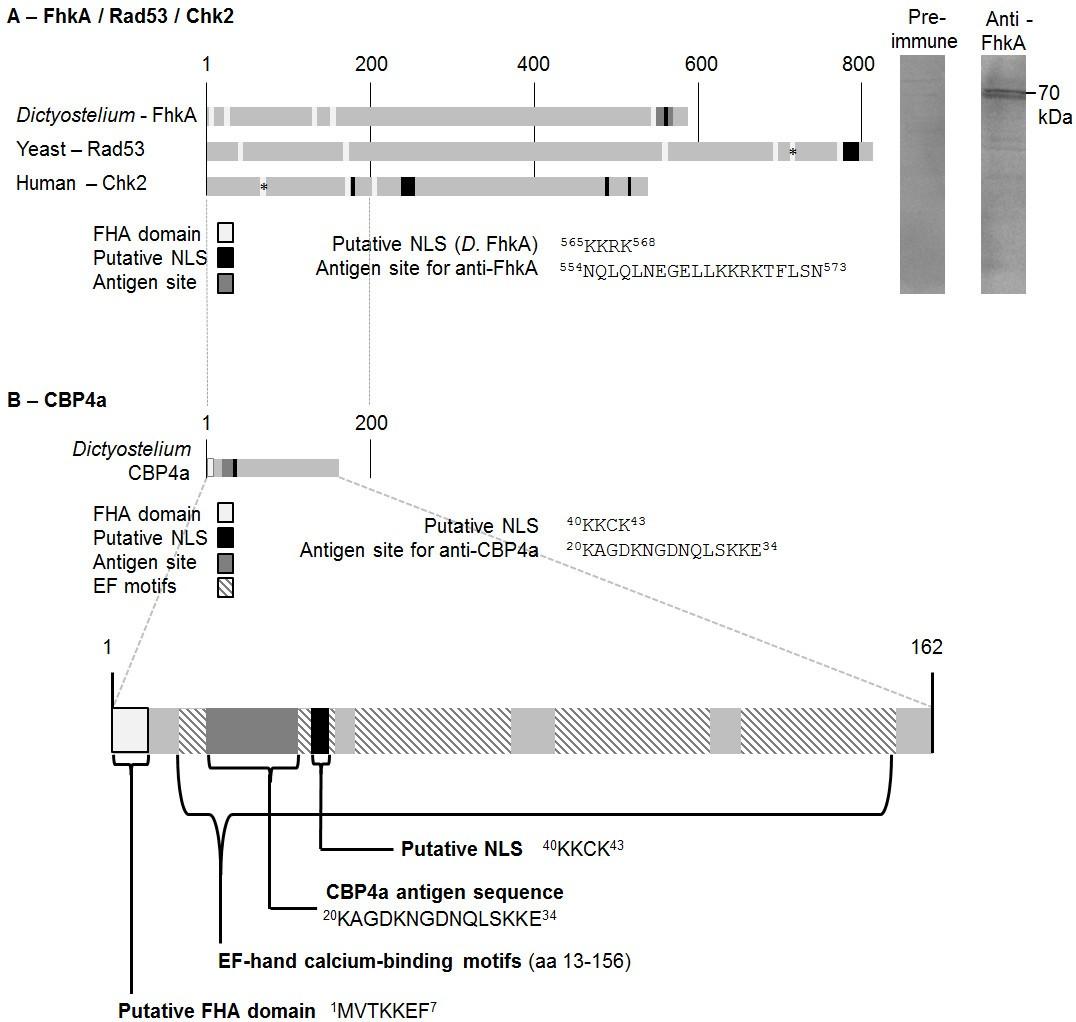 Rad53 Homologue Forkhead Associated Kinase A Fhka And Ca2 Binding No Disassemble Johnny 5is Alive Figure 1