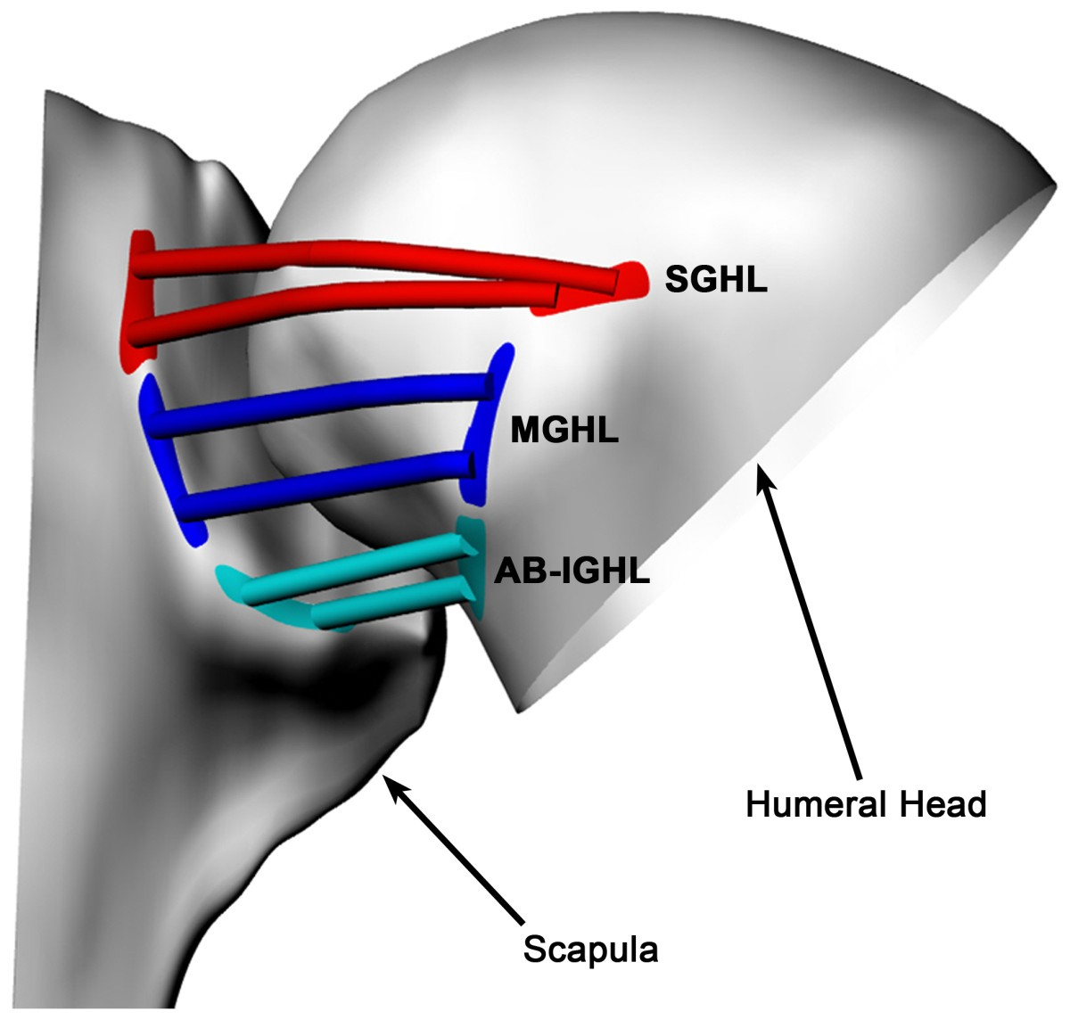 In-vivo glenohumeral translation and ligament elongation during ...