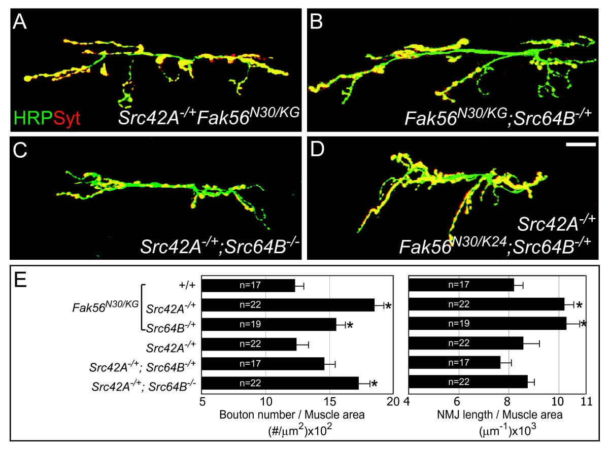 Fak56 Functions Downstream Of Integrin Alphaps3betanu And Suppresses Hunter Src Wiring Diagram Figure 3