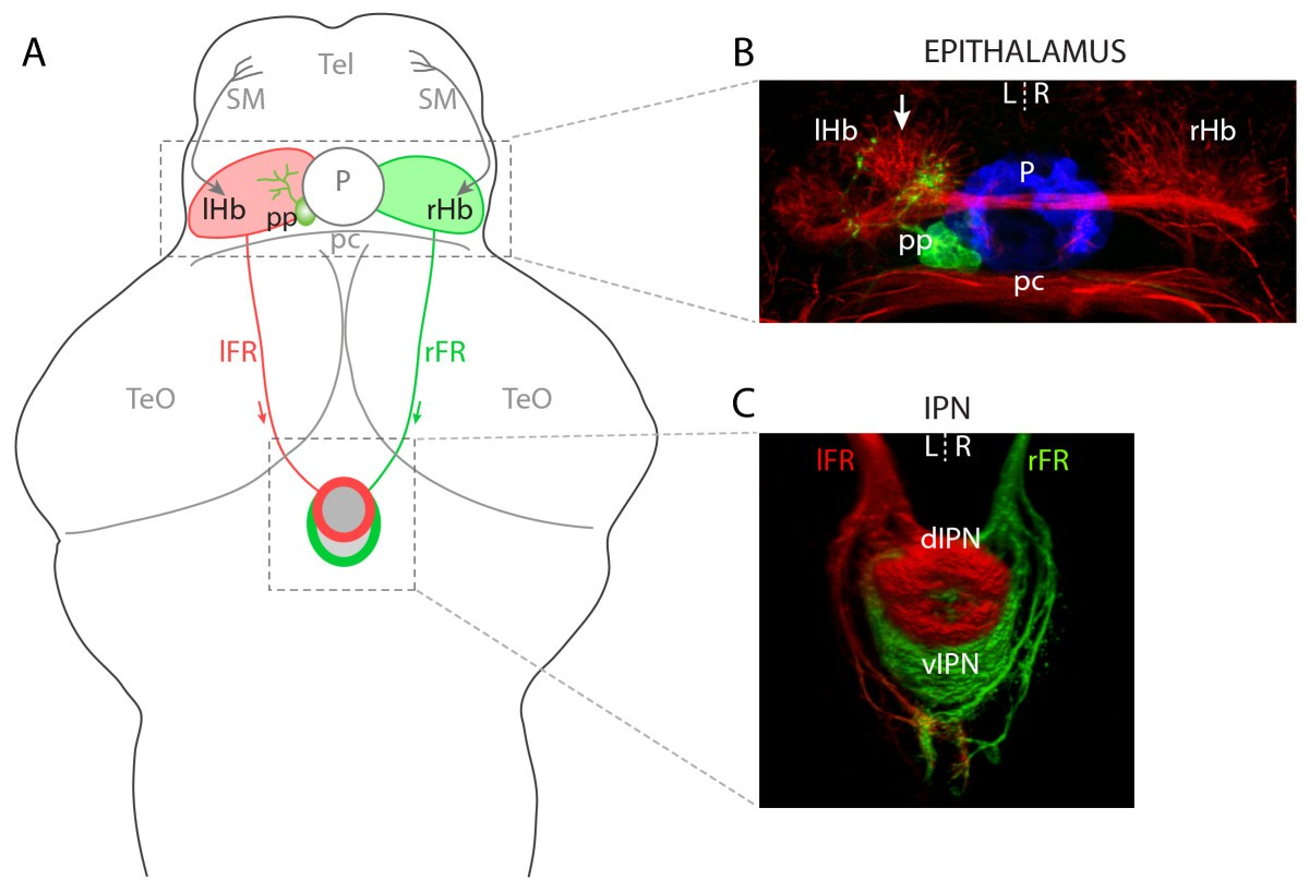 Brain Asymmetry Is Encoded At The Level Of Axon Terminal Morphology Neural Circuits In Retina I Rhb Figure 1