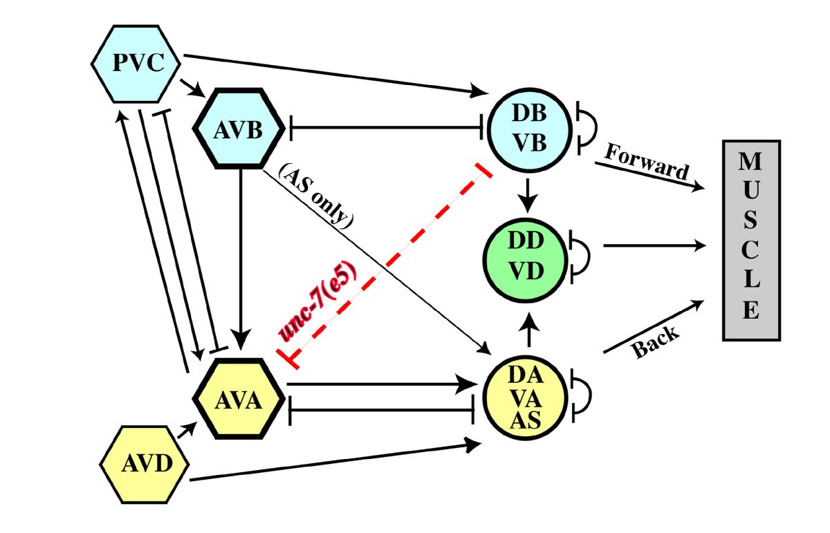 Interactions Between Innexins Unc 7 And 9 Mediate Electrical Dsl Work Diagram Likewise Telephone Phone Line Wiring Moreover Figure 1