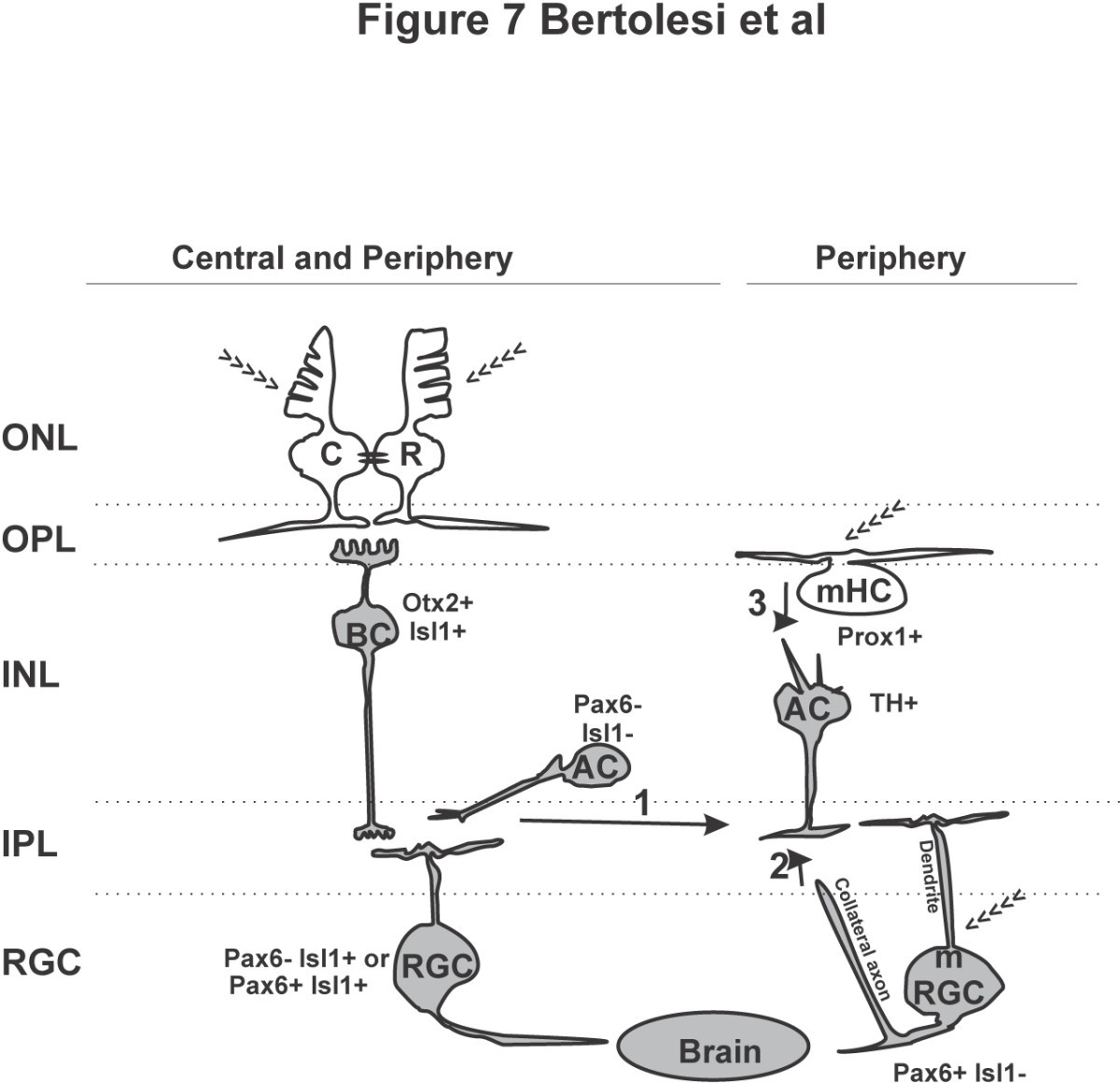 Wiring The Retinal Circuits Activated By Light During Early Oliver 1600 Diagram Figure 7 Neuronal Circuit